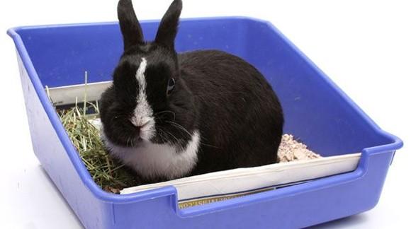 Como enseñar a tu conejo a hacer sus necesidades en la bandeja higiénica.